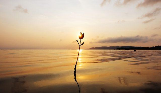 名蔵湾のマングローブの赤ちゃんと夕日