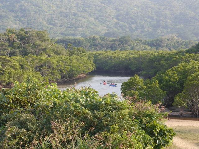 吹通川のマングローブの様子